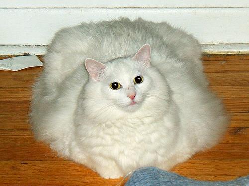 los gatos mas grandes