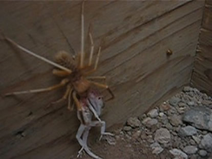 Camel spiders video