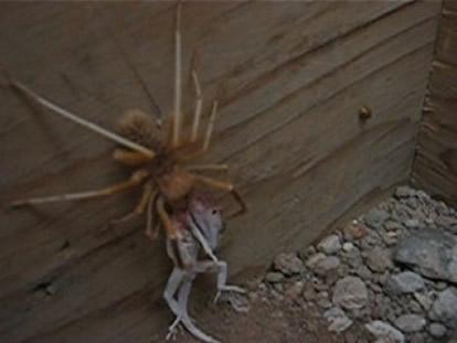 """Worlds Biggest Spiders....... """"shudder"""""""