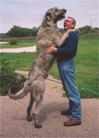 irish_wolfhound