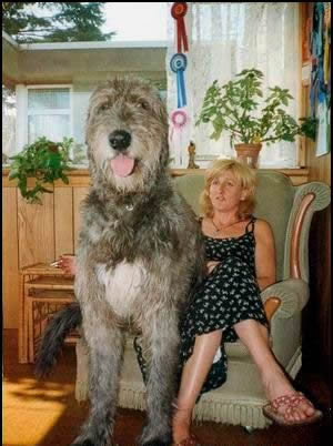 irish_wolfhound1