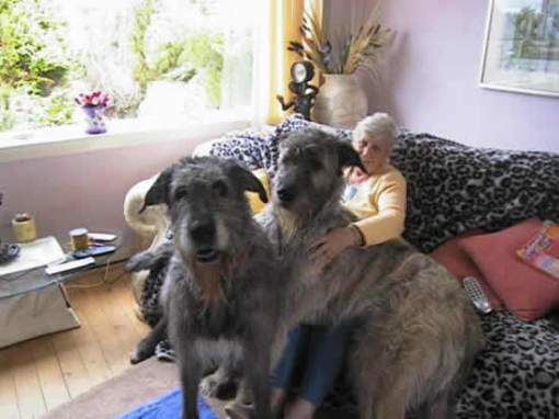 irish_wolfhound3