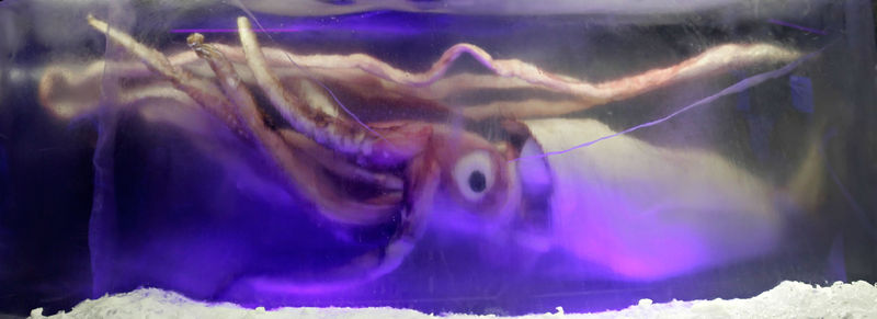 800px-giant_squid_melb_aquarium03