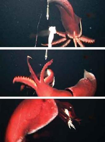 ataque_calamar_gigante