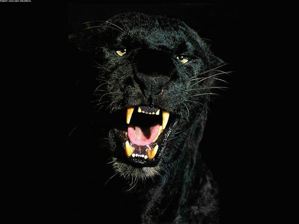 La Pantera Negra (Buenas Fotos) - Taringa!