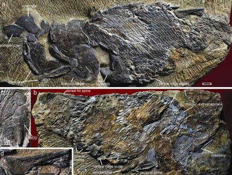 El fósil hayado