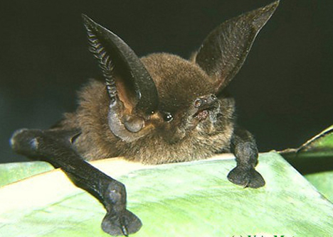 sucker-footed_bat