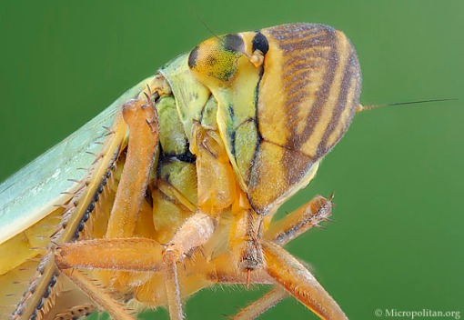 leafbug