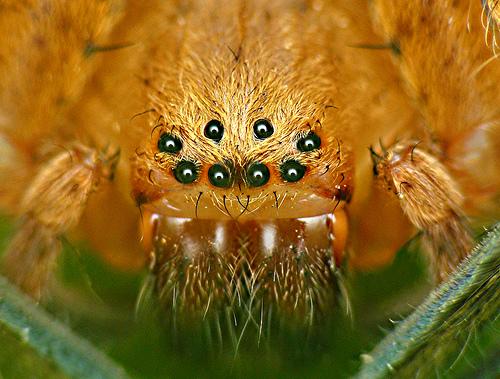 ojos_de_araña