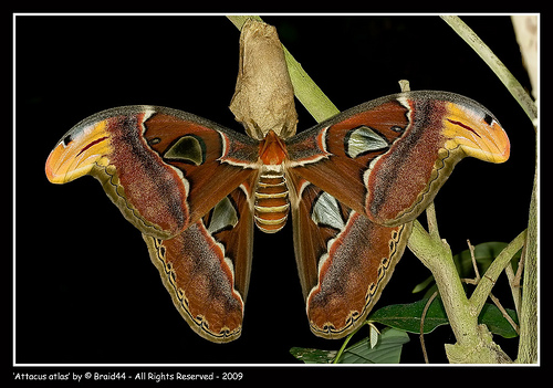 attacus_atlas