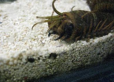 Barry, el gusano. El monstruo''okupa''del Blue Reef Acuarium Barry_worm1