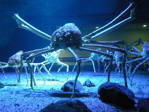 http://tejiendoelmundo.files.wordpress.com/2009/06/cangrejo_gigante_japones.jpg?w=500&h=375