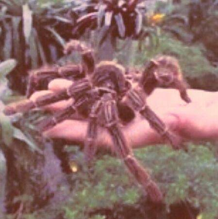 la_araña_mas_grande_del_mundo