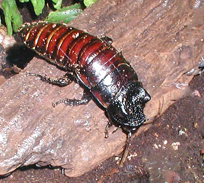 Madagascan.hissing.cockroach