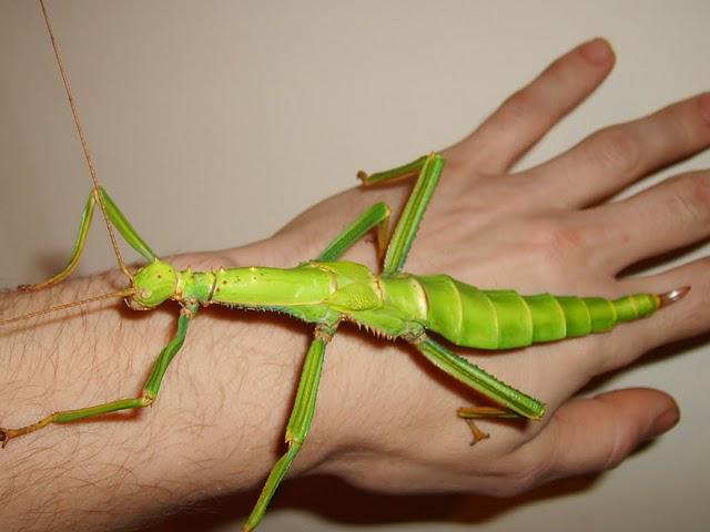 http://tejiendoelmundo.files.wordpress.com/2009/06/mantis_gigante.jpg