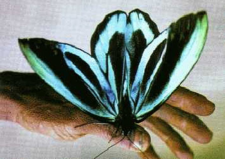 ornithoptera-alexandrae