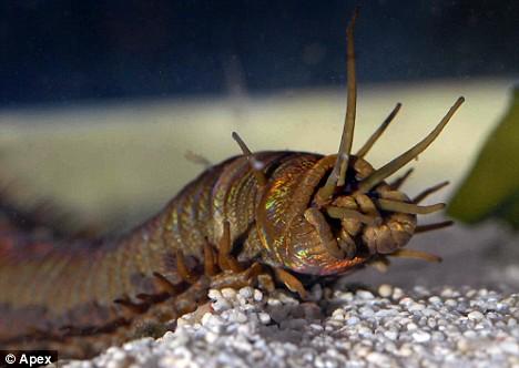 Barry, el gusano. El monstruo''okupa''del Blue Reef Acuarium Worm_barry