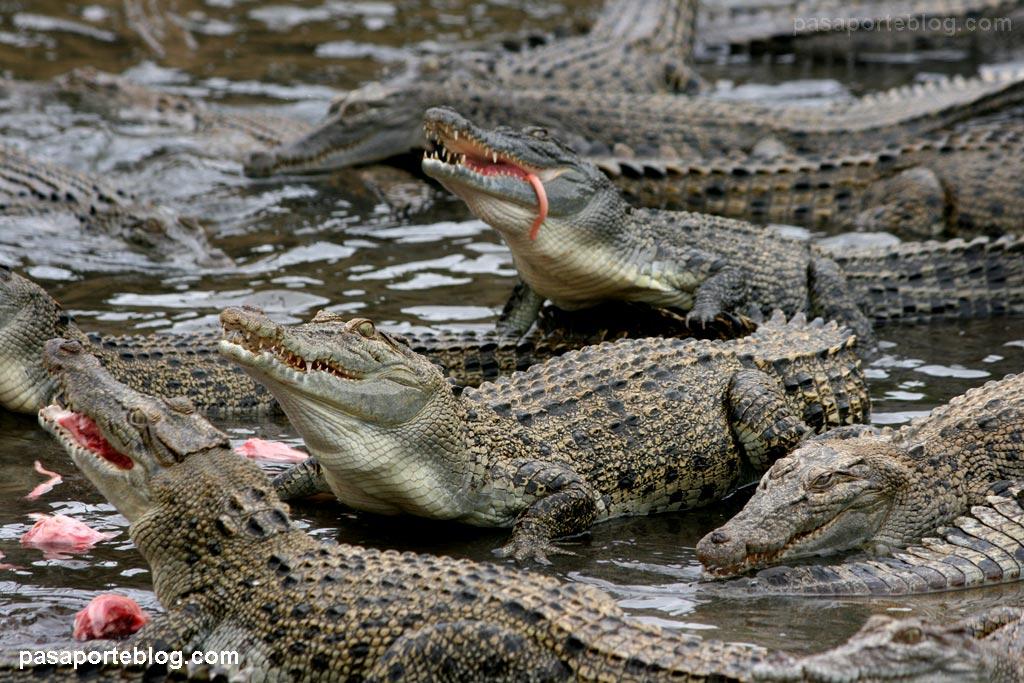 cocodrilos_asesinos