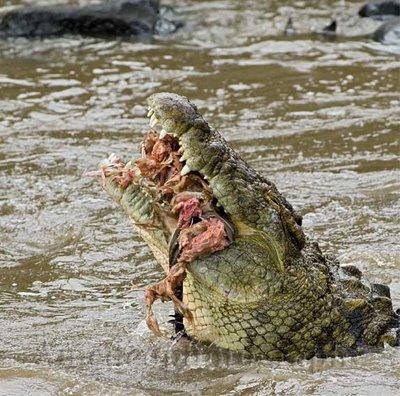 cocodrilos_devoradores_humanos