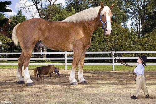 caballo_mas_grande_y_mas_pequeño_del_mundo