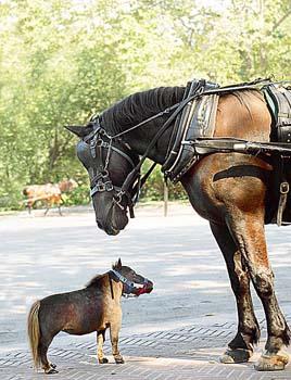el_caballo_mas_pequeño_del_mundo
