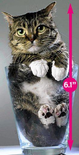 Sr.Peebles el gato mas pequeño del mundo:cat:  :cat: :cat:   El_gato_mas_pequeno