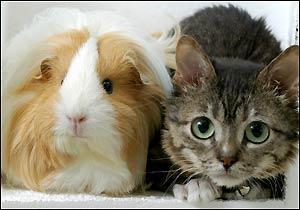 Sr.Peebles el gato mas pequeño del mundo:cat:  :cat: :cat:   Mister_peebles