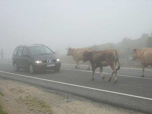 vacas_en_la_carretera