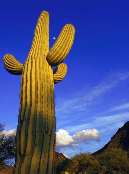 cactus_gigante