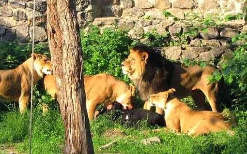 leones_devorando_humano_kiev
