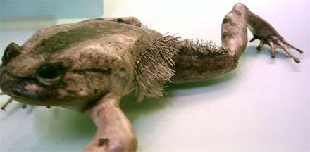 Trichobatrachus robustus, la rana peluda.