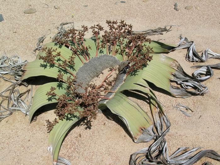 Planta ornitorrinco. La planta a la que le crecen dos hojas cada siglo.
