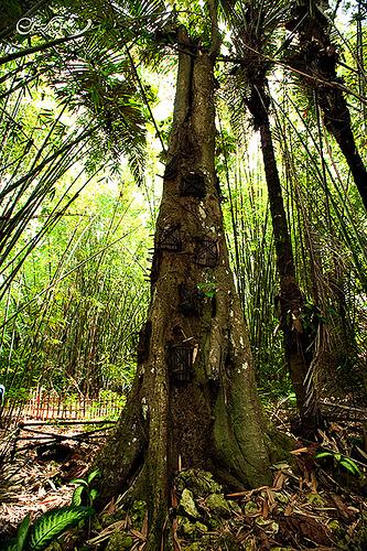 Los Toraja y los árboles de los niños muertos