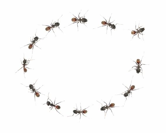 Las espirales suicidas de las hormigas