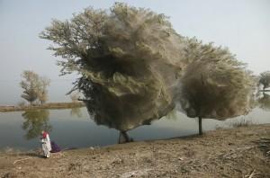 Los árboles de tela de araña y la telaraña más grande del mundo.