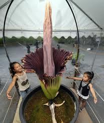 Las flores mas grandes del mundo Flores-gigantes