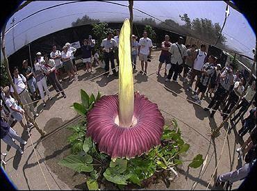 Las flores más grandes del mundo… y las que peor huelen.