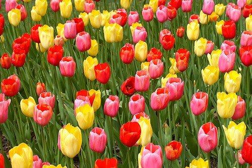 Tulipoman a la fiebre del tulip n que casi llev a holanda a la quiebra el pensante - Jardines de tulipanes en holanda ...