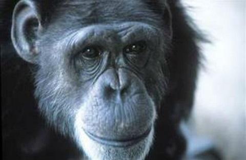 Washoe, la chimpancé que pensaba que era humana